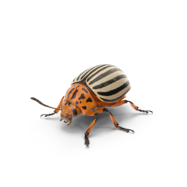 Colorado Potato Beetle PNG Images & PSDs For Download