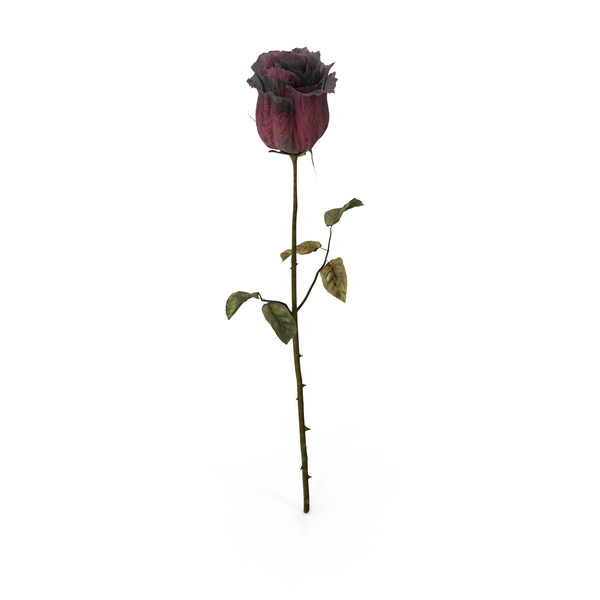 Dried Rose PNG Images & PSDs for Download