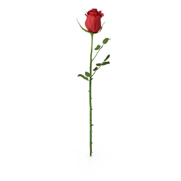 Rose Png Images Psds For Download Pixelsquid S106027068