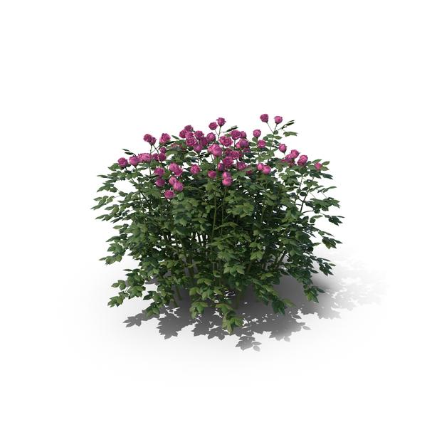 Rose Bush Png Images Amp Psds For Download Pixelsquid