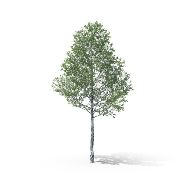 [Image: silver-poplar-tree-B5Wd3M0-600.jpg]