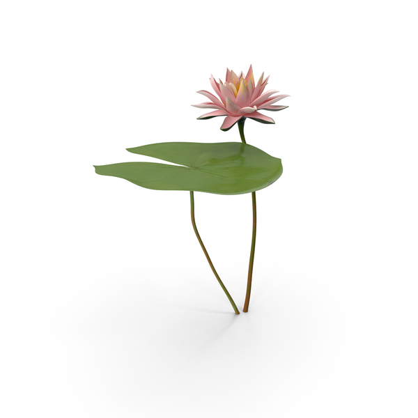 Water Lily Png Images  U0026 Psds For Download