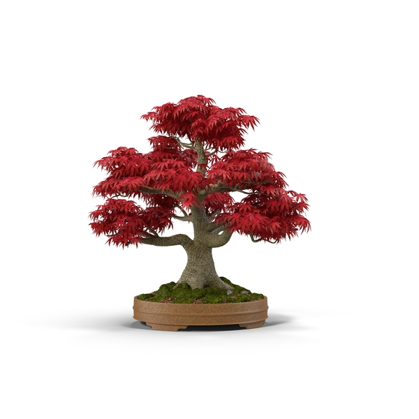 Japanese Maple Object