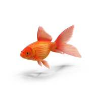 Goldfish PNG & PSD Images