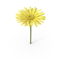 Yellow Daisy PNG & PSD Images
