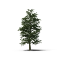 Common Beech PNG & PSD Images