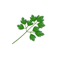 Italian Parsley PNG & PSD Images