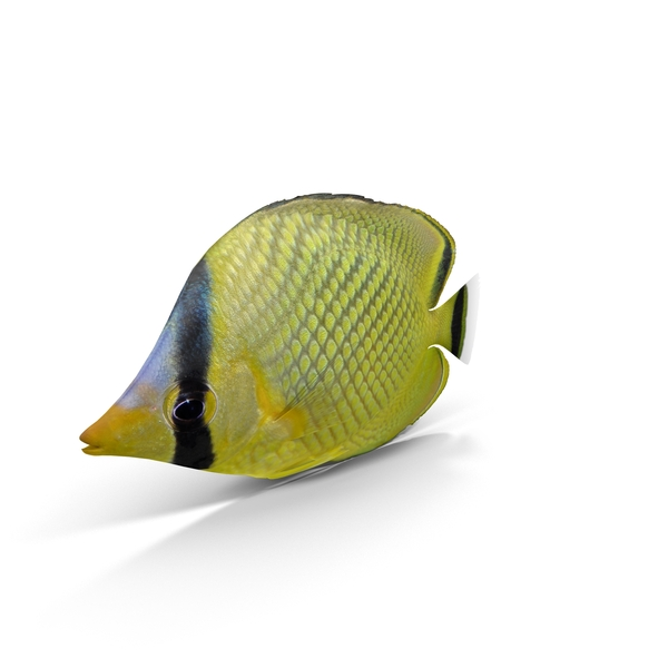 Latticed Butterflyfish PNG & PSD Images