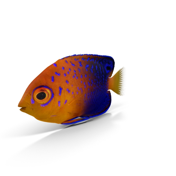 Japanese Angelfish PNG & PSD Images