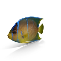 Pomacanthus Blue Angelfish PNG & PSD Images