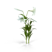 Easter Lily PNG & PSD Images