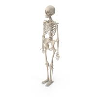 Female Skeleton PNG & PSD Images