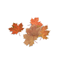 Autumn Maple Leaves PNG & PSD Images