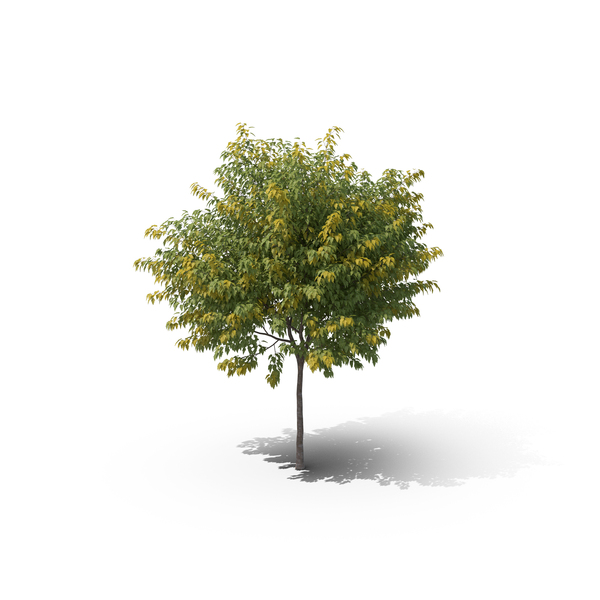 Maple Tree PNG & PSD Images