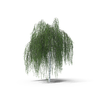 European Birch Tree PNG & PSD Images