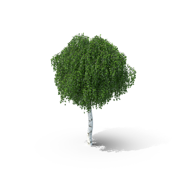 Weeping Birch PNG & PSD Images