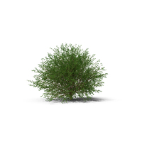 Birch PNG & PSD Images
