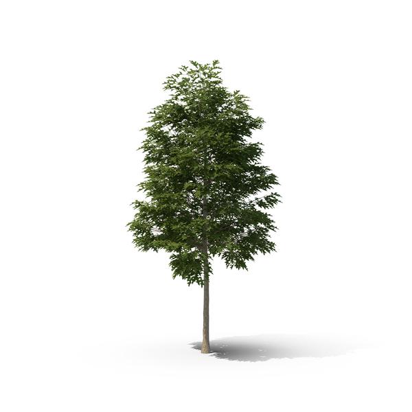 Pin Oak Tree PNG & PSD Images