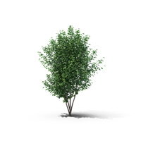 Hawthorn Tree Object