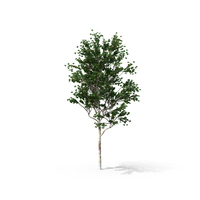 Chinese Red Birch Tree PNG & PSD Images