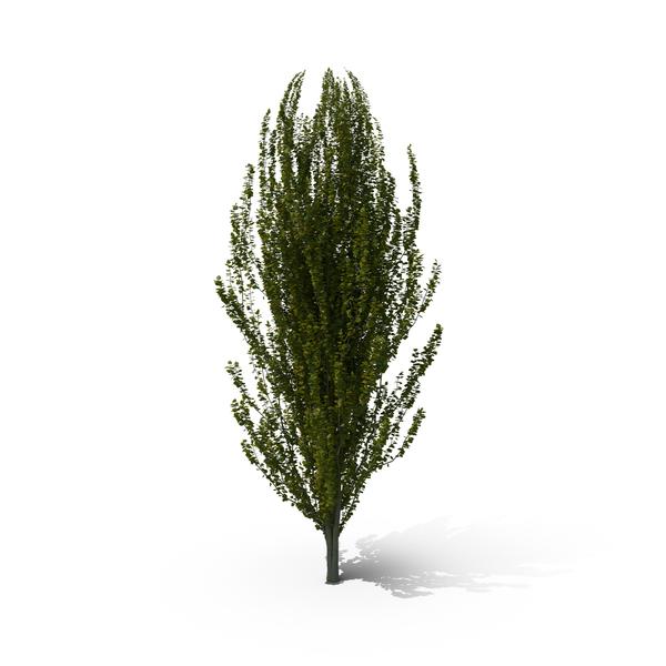 European Beech Tree PNG & PSD Images
