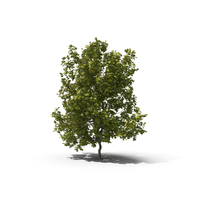 English Oak Tree PNG & PSD Images