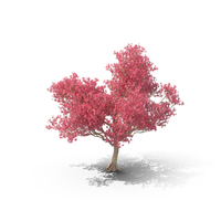 Silk Floss Tree PNG & PSD Images