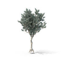Buttonwood Tree PNG & PSD Images