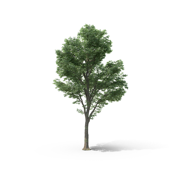 Tilia Tree Object