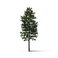 Scots Pine Tree PNG & PSD Images