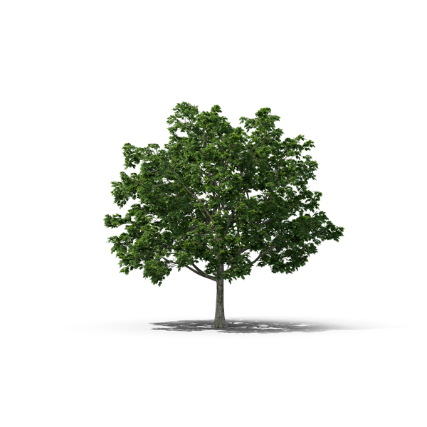 Norway Maple Tree PNG & PSD Images