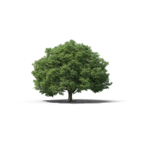 Crack Willow PNG & PSD Images