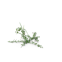 Field Bindweed PNG & PSD Images