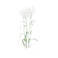 Great Manna Grass PNG & PSD Images