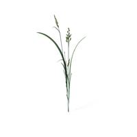 Beckmannia Hirsutiflora PNG & PSD Images