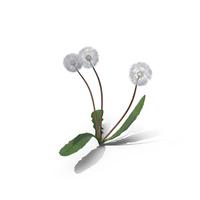 Taraxacum Officinale Seeding PNG & PSD Images