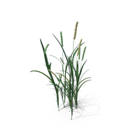 Timothy-Grass (Phleum Pratense) PNG & PSD Images