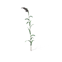 Common Reed (Phragmites Australis) PNG & PSD Images