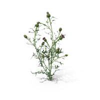 Spear Thistle (Cirsium Vulgare) PNG & PSD Images
