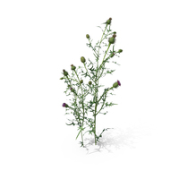 Spar Thistle (Cirsium Vulgare) PNG & PSD Images
