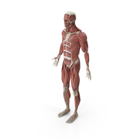 Male Muscular System PNG & PSD Images