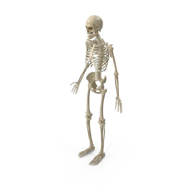 Male Skeletal System PNG & PSD Images