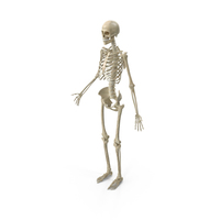 Female Skeletal System PNG & PSD Images