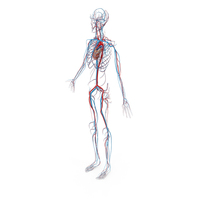 Female Circulatory System PNG & PSD Images