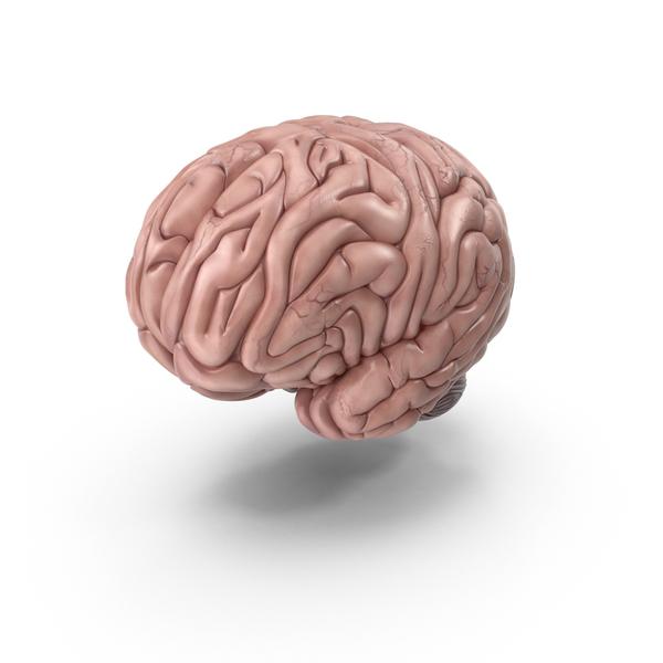 Human Brain PNG & PSD Images