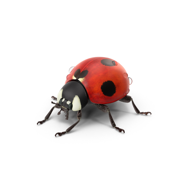 Ladybug With Water Droplets PNG & PSD Images