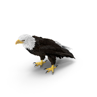 Bald Eagle Standing PNG & PSD Images