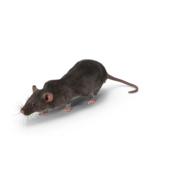 Grey Rat Object
