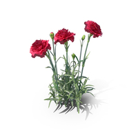 Carnations PNG & PSD Images