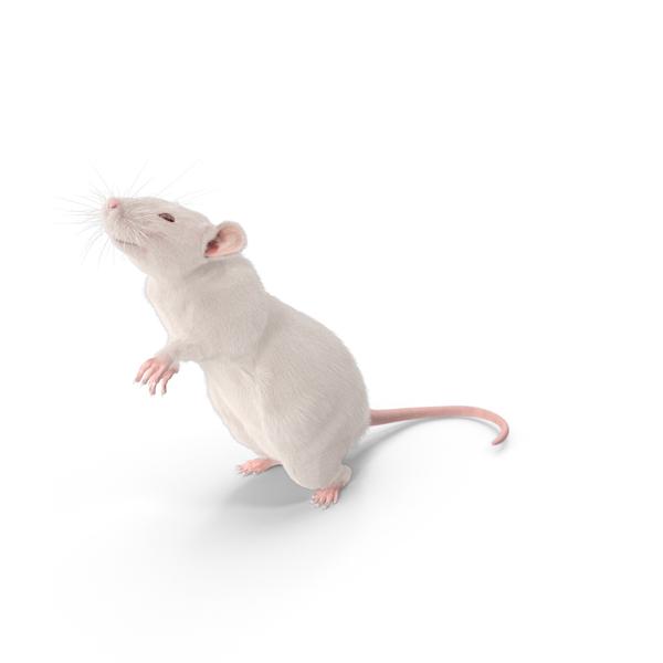 White Rat Object